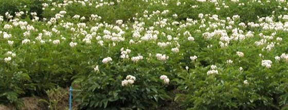 Potato plants