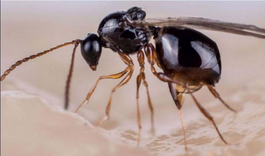 Pachycrepoideus vindemia. Photo credit: Myrmecofourmis