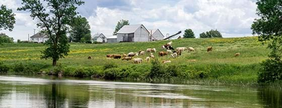 River and cows