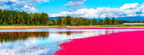 Cranberry field