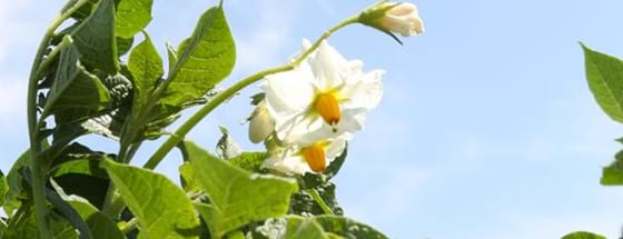 Potato plant flower