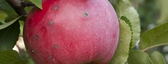 Apple scab